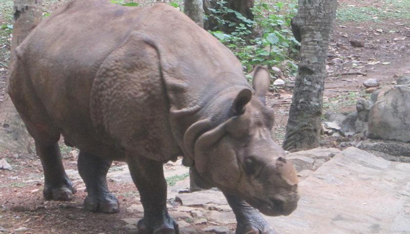 Hornless Rhino